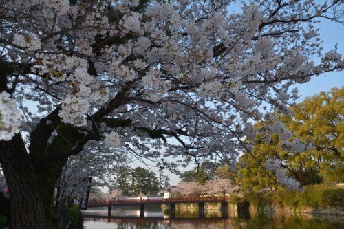 小田原城の桜(4月6日)#1