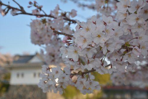小田原城の桜(4月6日)#2