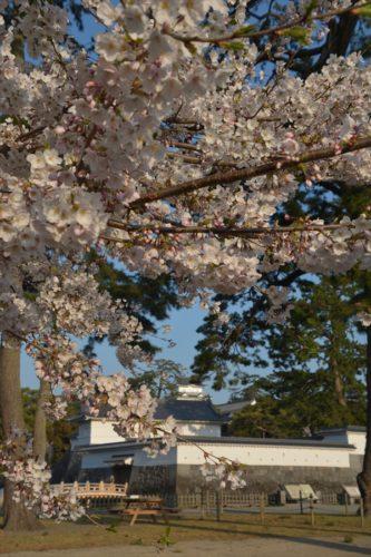 小田原城の桜(4月6日)#3