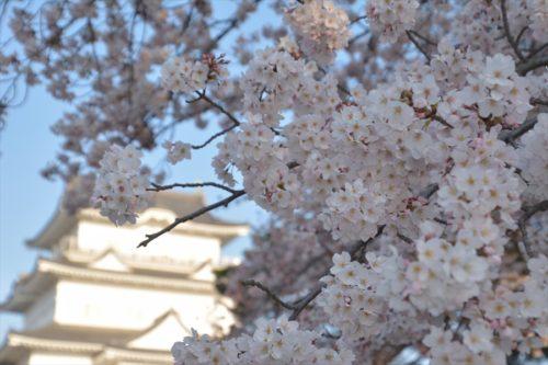 小田原城の桜(4月6日)#4