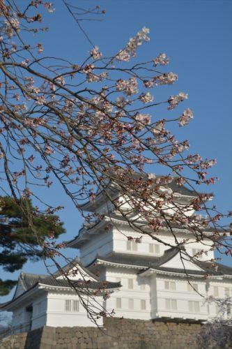 小田原城の桜(4月6日)#5