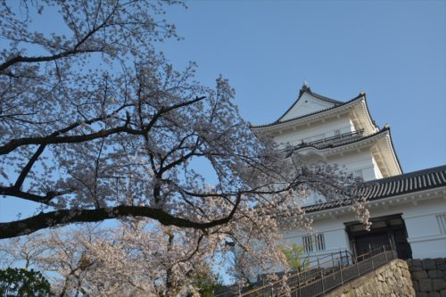 小田原城の桜(4月6日)#6