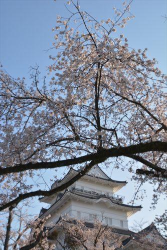 小田原城の桜(4月6日)#7