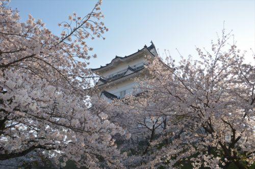 小田原城の桜(4月6日)#8