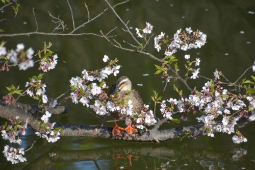 小田原城の桜(4月6日)#9