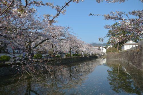 小田原城の桜(4月6日)#10