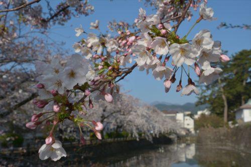 小田原城の桜(4月6日)#11
