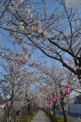 小田原城の桜(4月6日)#12