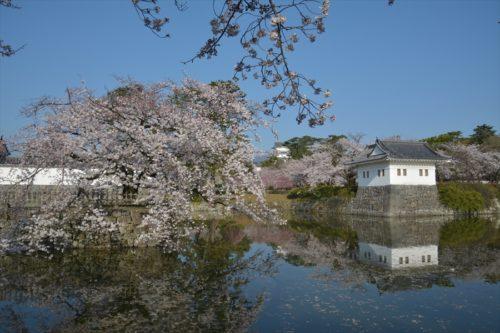 小田原城の桜(4月6日)#13