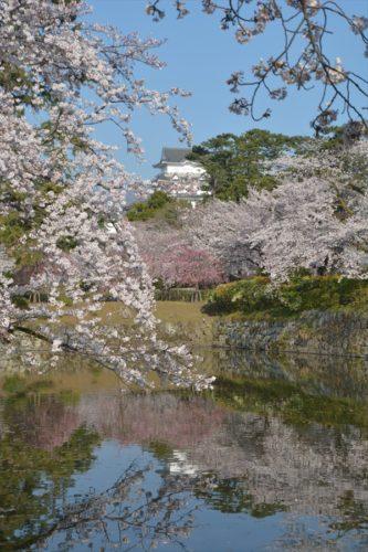 小田原城の桜(4月6日)#14