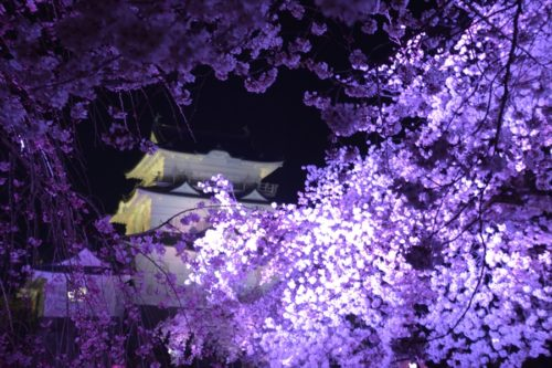 小田原城の桜ライトアップ(4月7日)#3